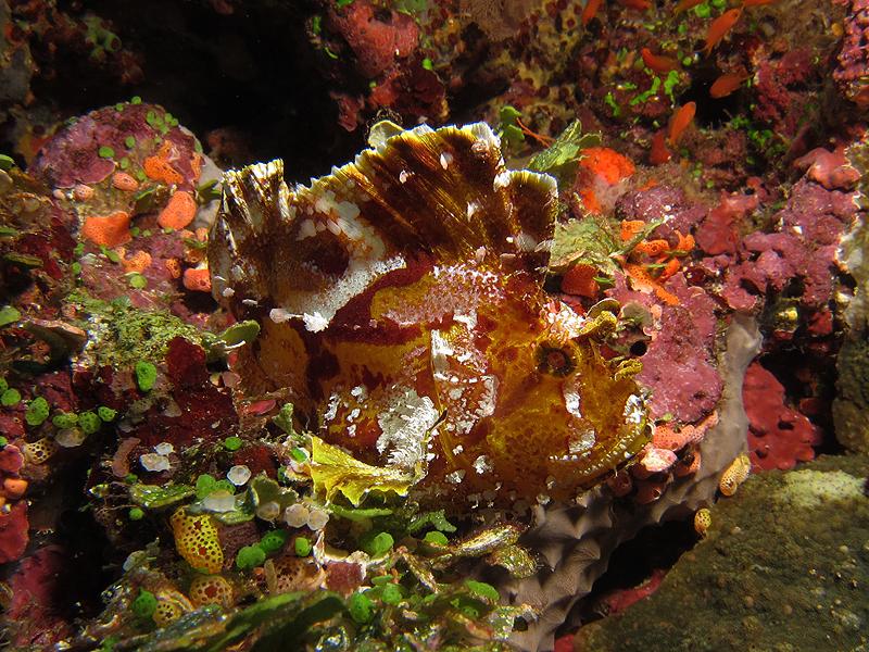 Scorpion leaf ish camouflaged on the reef